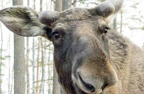 В Москве лось искалечил в парке пенсионера