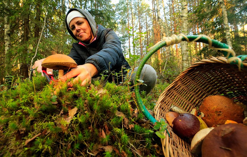 В Минсельхозе предлагают регулировать сбор грибов и диких ягод